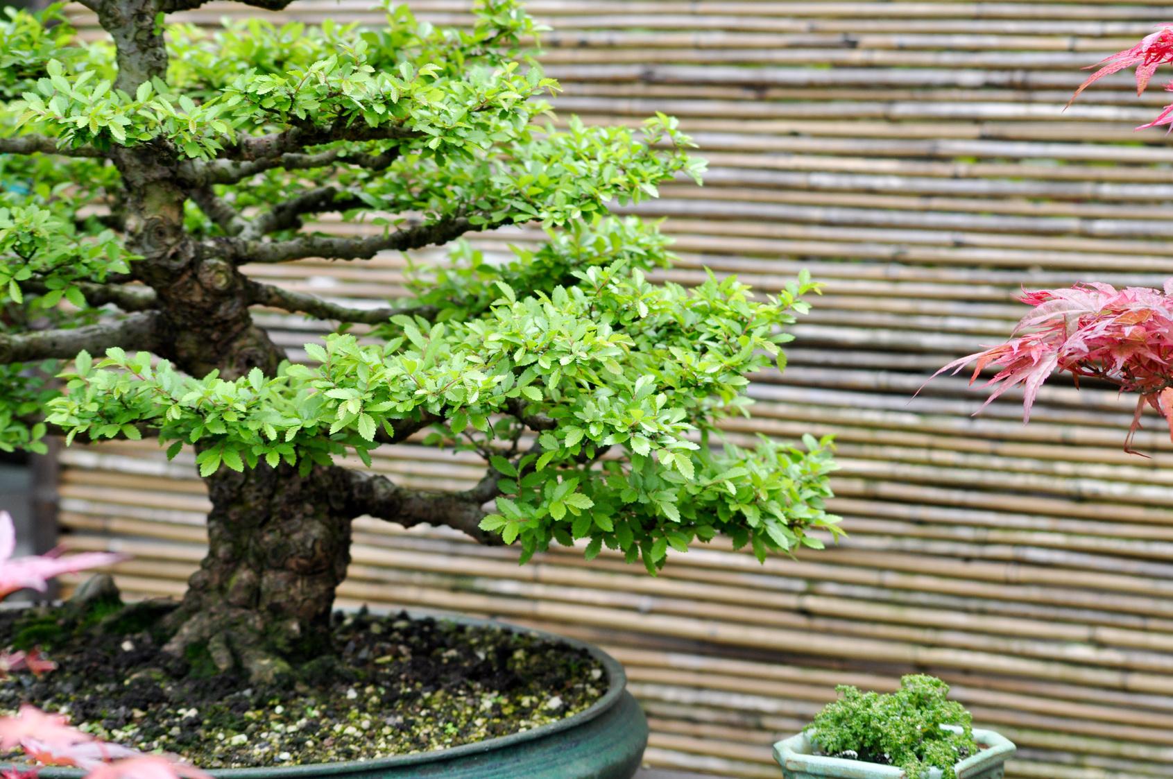 Bonsai vivaio scariot for Bonsai cura