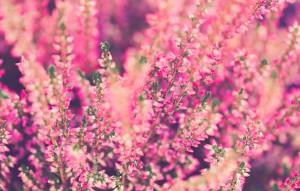fiori invernali: le eriche