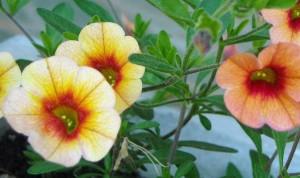 Piante da balcone geranio e tris fioriti - Geranio giallo ...