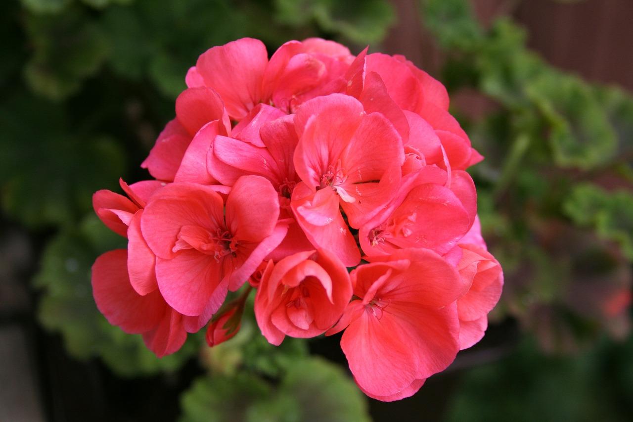 Piante da balcone geranio e tris fioriti for Fiori gerani