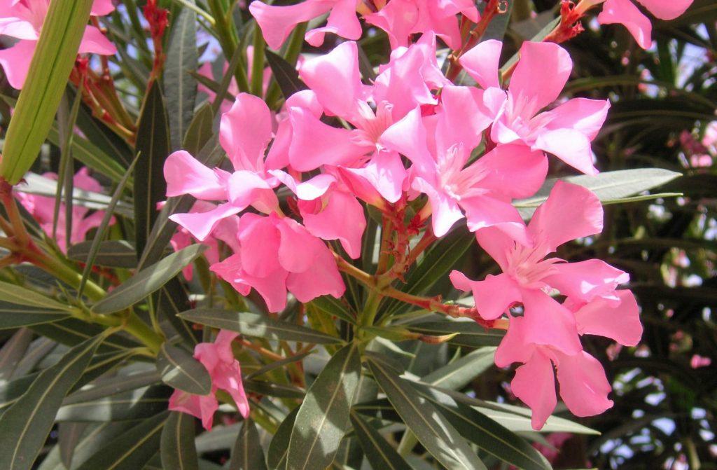oleandro oleandri : Oleandro in vaso: cure e consigli pratici di coltivazione