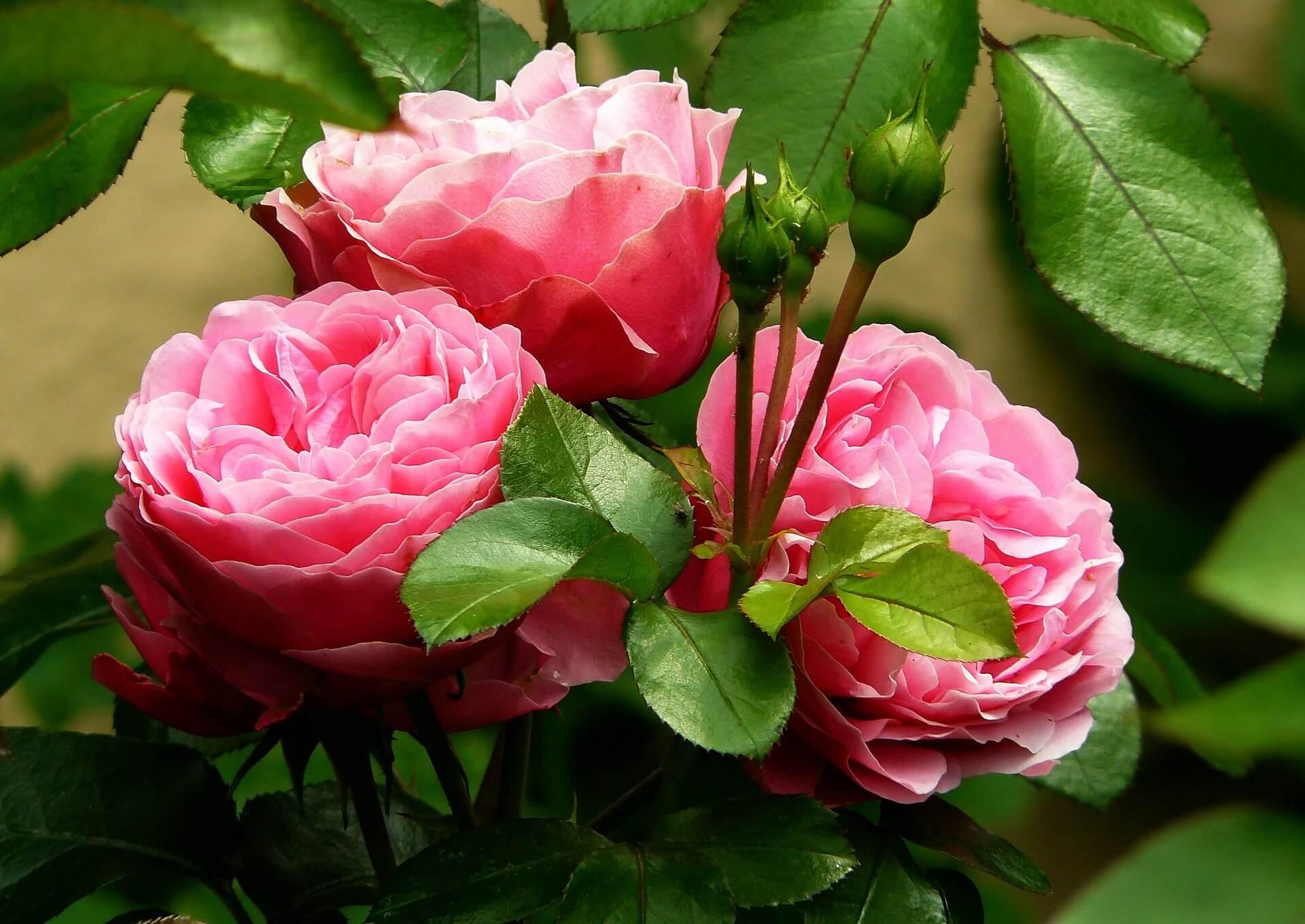 Come coltivare le rose quando piantarle dove consigli utili for Rose da giardino