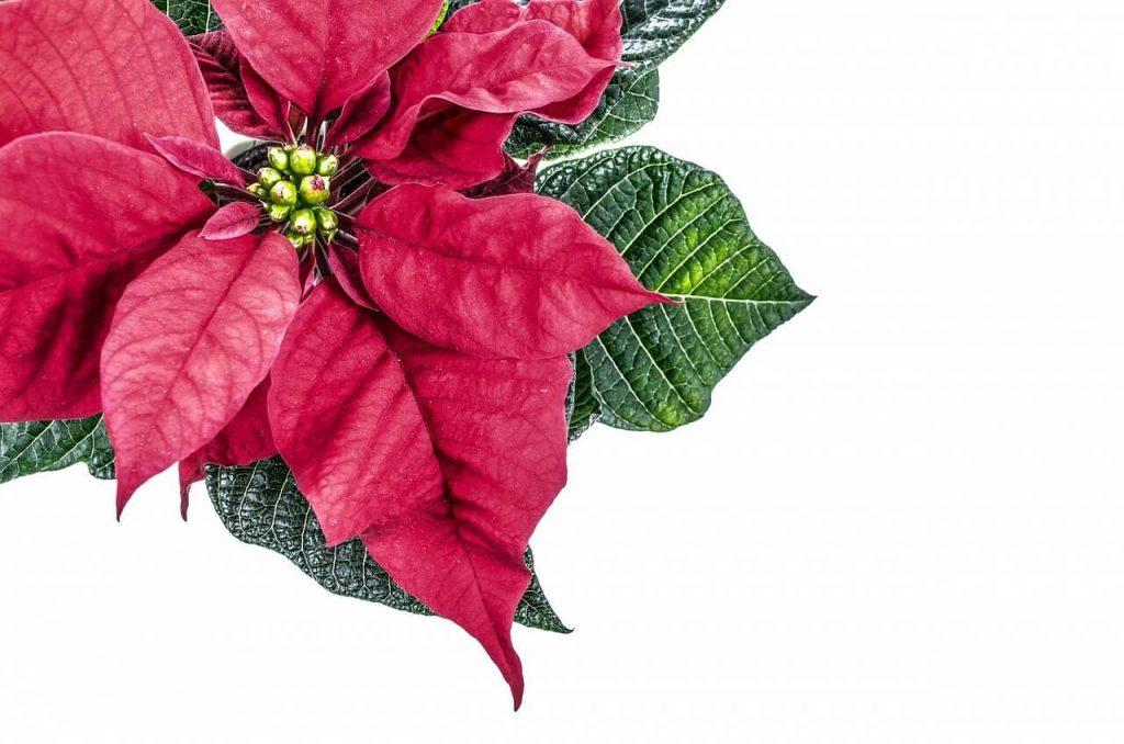 Stella Di Natale In Casa.Come Tenere La Stella Di Natale In Casa Albero E Stella Di Natale