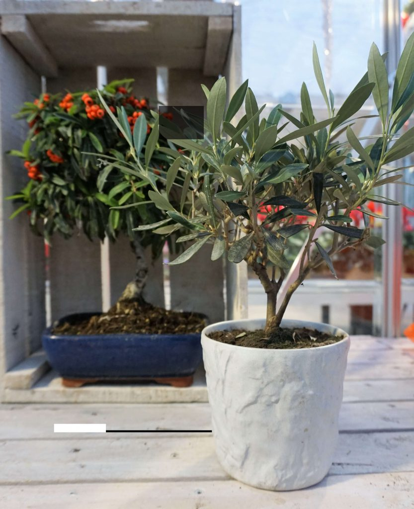 Stunning bonsai prezzi e offerte contemporary for Olivo bonsai prezzo