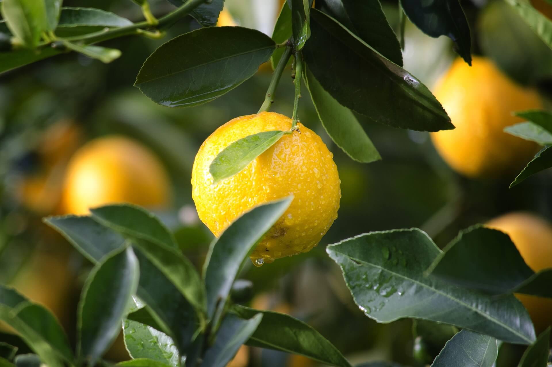 Agrumi In Vaso Coltivare Le Piante Di Limoni è Facile Se Sai Come