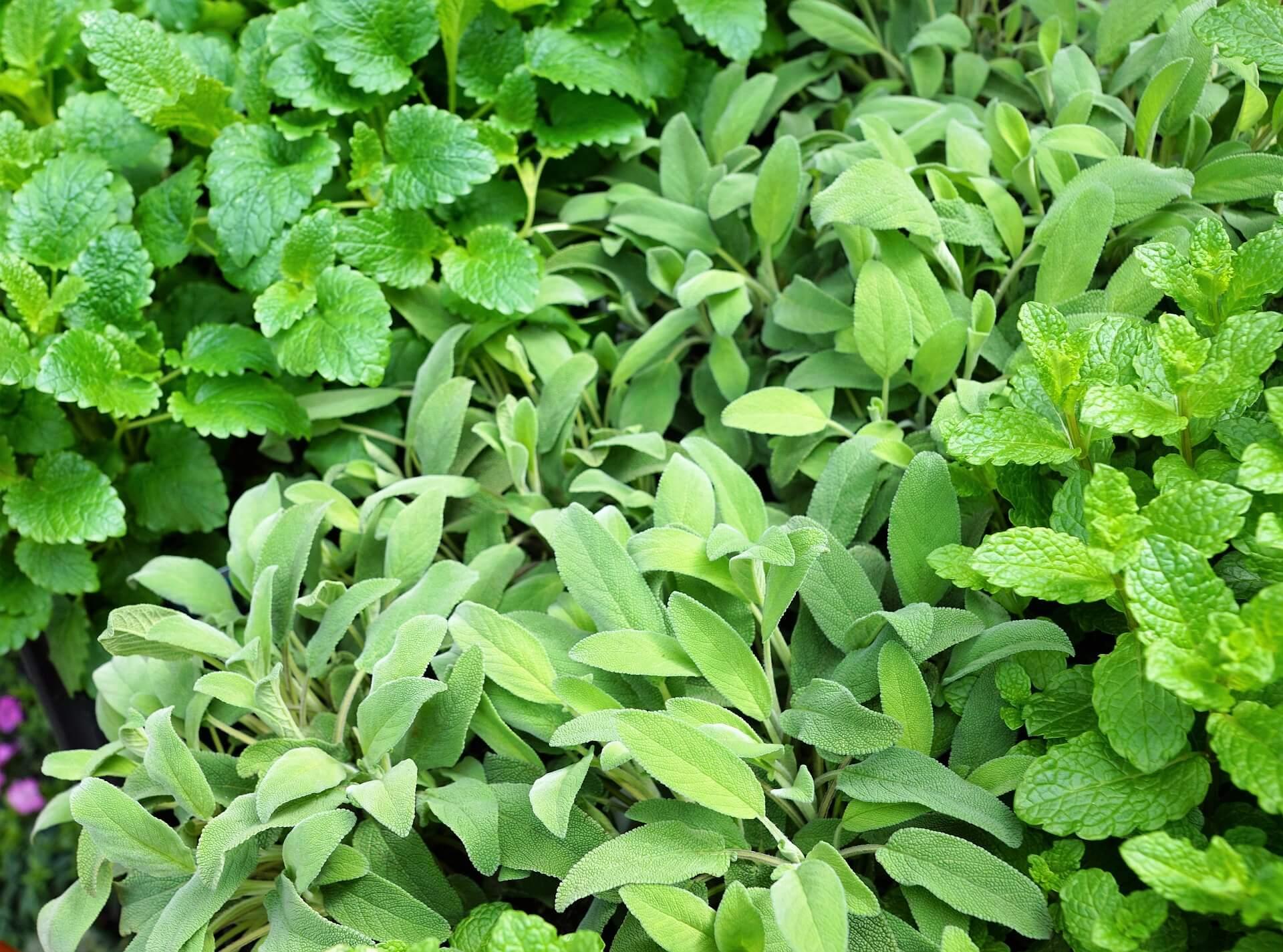 Piante aromatiche in vaso vivaio scariot for Coltivazione basilico in vaso