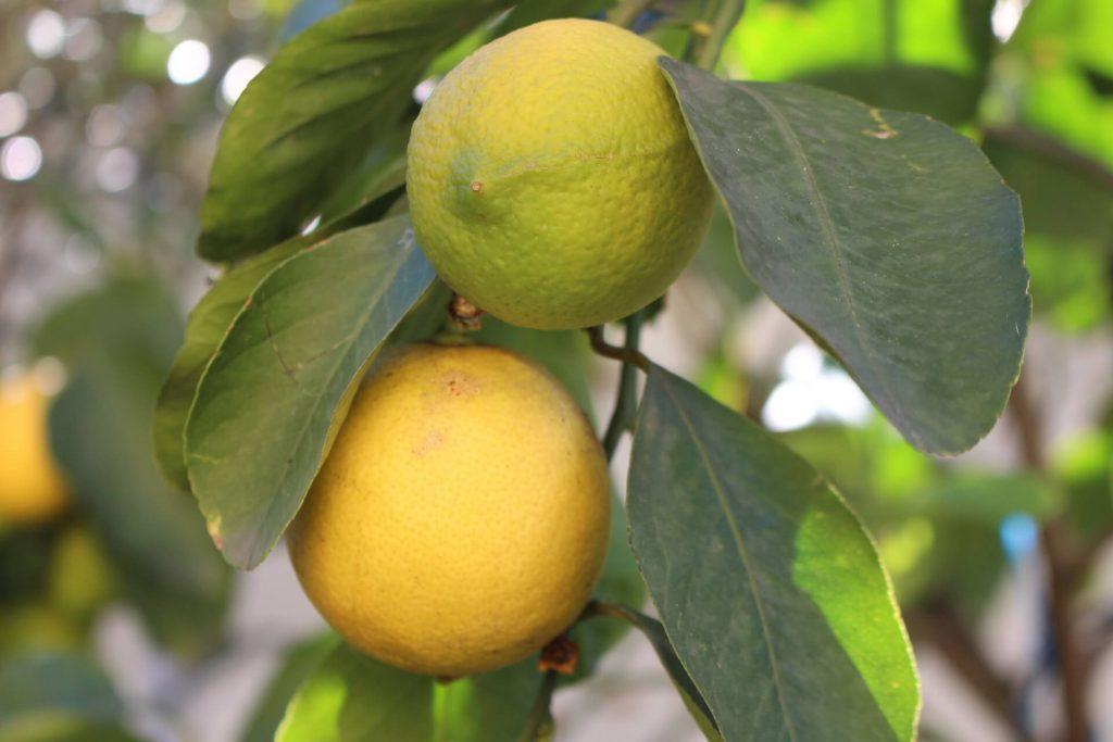 Innesto di un limone: periodo migliore e come fare ...