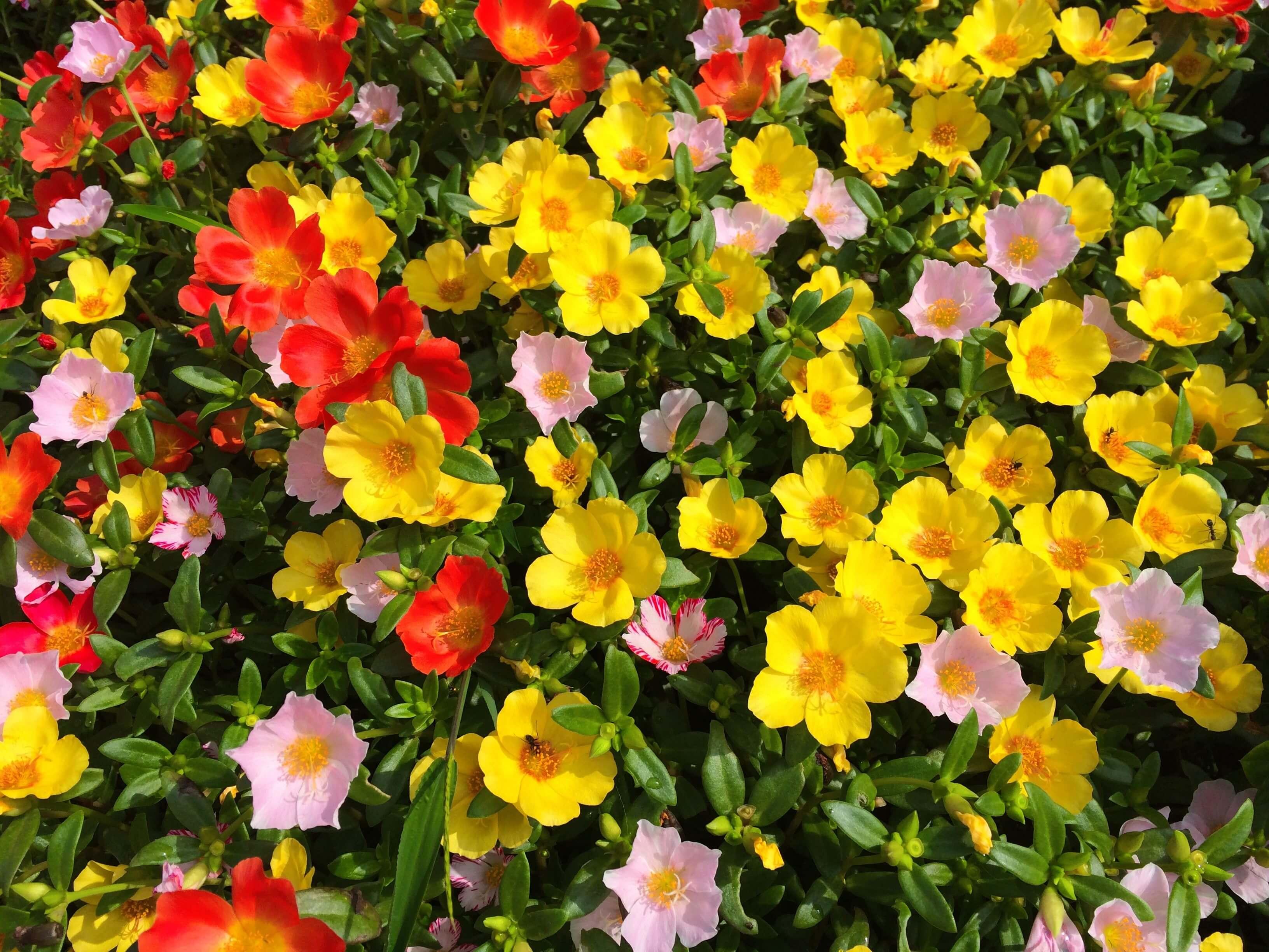 Piante Grasse Con Fiori Gialli.Portulaca Coltivazione Della Pianta Grassa Piu Colorata Vivaio