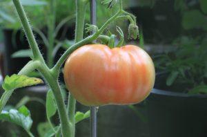 pomodoro coltivato