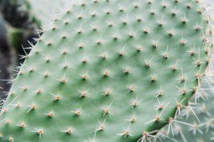 cactus vivaio scariot