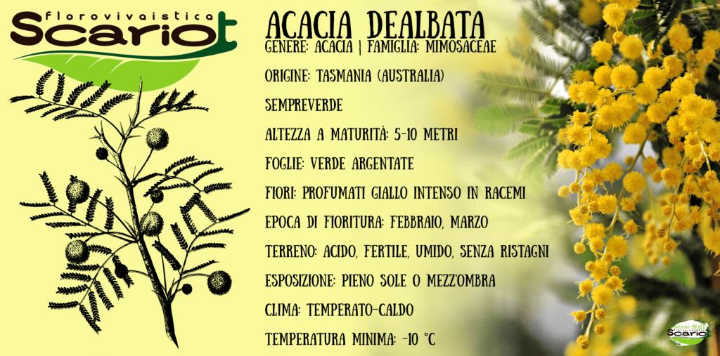 Scheda tecnica acacia dealbata, mimosa